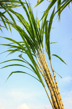 sugar cane farm: sugarcane