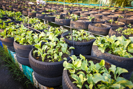 recycle of tire used in organic vegetable farm photo