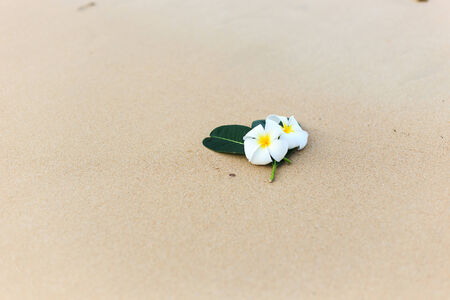 White flower, Plumeria flower or Frangipani on the beach photo