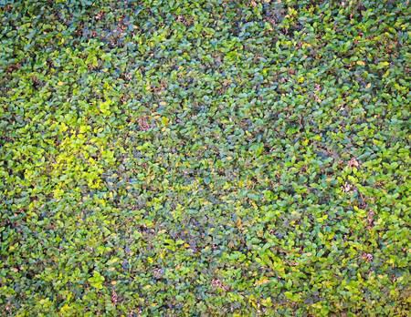 wall ivy: Pattrern pared verde de la hiedra Foto de archivo