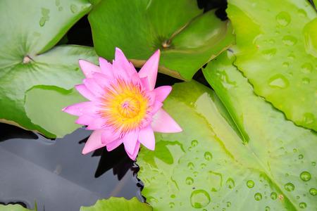 lotus effect: Lotus flower in water pond