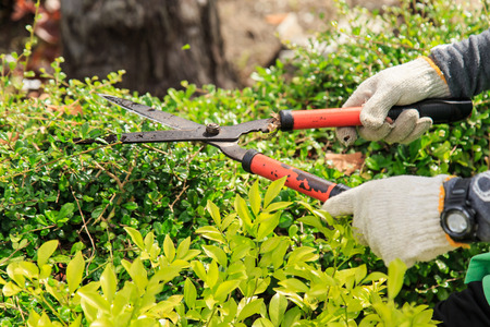Pruning bushes in the garden.
