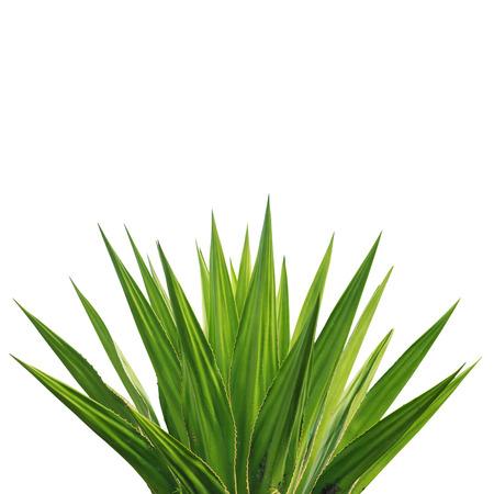 リュウゼツランの植物の白い背景で隔離