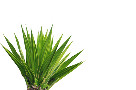 Agave plant isolated on white background photo