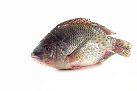 tilapia: Nile tilapia fishes