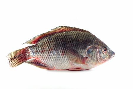 nile tilapia: Nile tilapia fishes