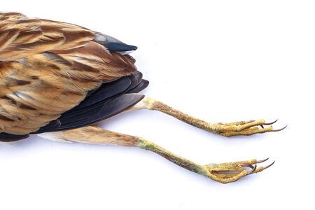 gray catbird: Dead bird isolated on white background Stock Photo