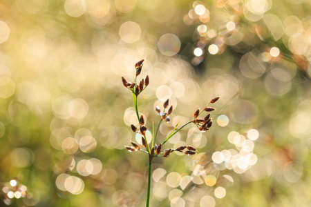Grass flower in the morning photo