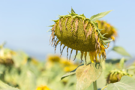 wilting: Sunflower and blue sky