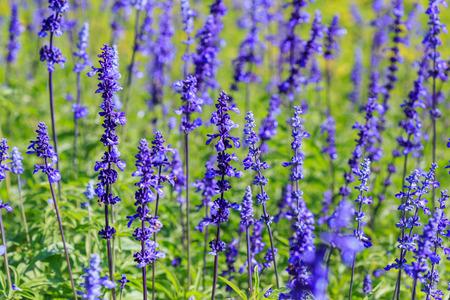 Close up lavender flower (Lavandula x intermedia).