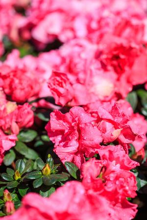 Close up Azalea flower