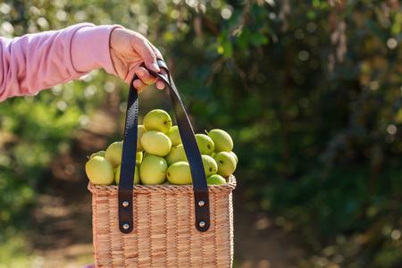 Hand hodling basket with green monkey apple Stock Photo