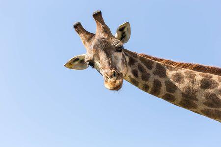 jirafa: jirafa en el fondo de cielo azul