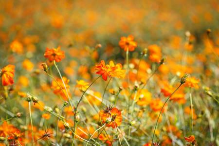 Orange cosmos flower Stock Photo