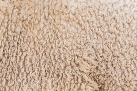 furry stuff: Wool sheep closeup  Stock Photo