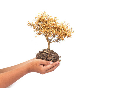 Dried plant in hands isolated on white background photo