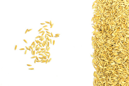 paddy: Yellow paddy jasmine rice isolated on white background