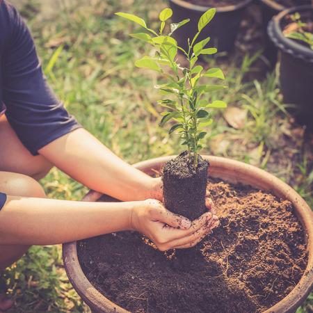 seed pots: Close up Hand holding young lime tree on soil, Retro filter effect Stock Photo
