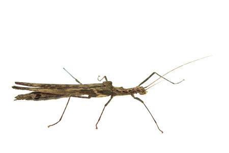 caelifera: Big brown grasshopper isolated on white background