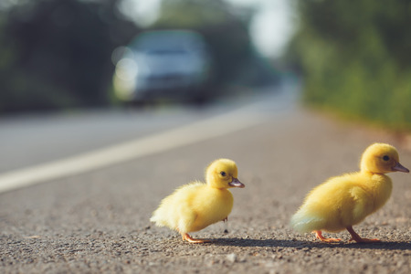 Close up small duckling on the asphalt road in Thailand