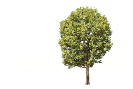northeast: Tree in northeast, Thailand isolated on white background