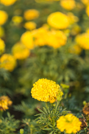 garden marigold: Close up marigold flower in the garden