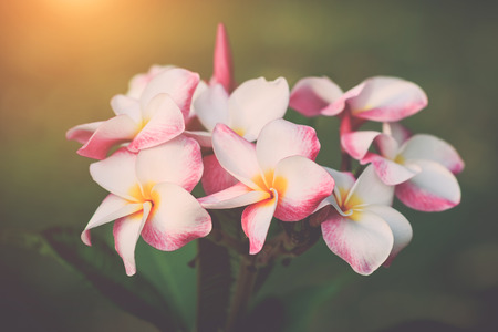Close up white, pink and yellow plumeria frangipani flowers with leaves, with retro filter effect Stock Photo
