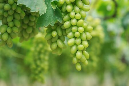 Close up Bunch of fresh green grapes on the vine with green leaves in vineyard
