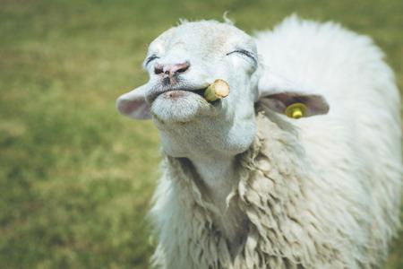 close up   head: Close up head of sheep in farm at Ratchaburi, Thailand