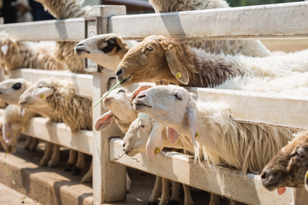 ratchaburi: Close up sheep in farm at Ratchaburi, Thailand
