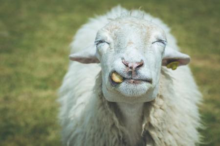ratchaburi: Close up head of sheep in farm at Ratchaburi, Thailand