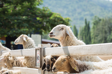ratchaburi: Close up sheep in farm at Ratchaburi, Thailand