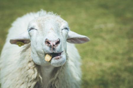 Close up head of sheep in farm at Ratchaburi, Thailand