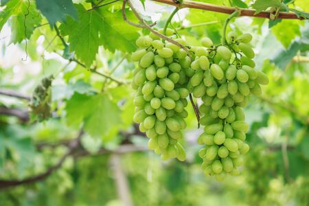 bunch up: Close up Bunch of fresh green grapes on the vine with green leaves in vineyard