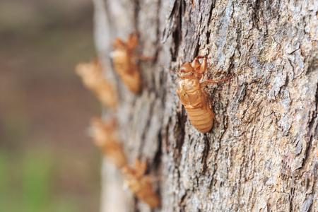 cicada bug: Close up Cicada slough or molt  hold on the tree