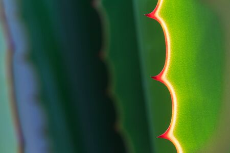 close in: Close up thorn of agave plant in the gardens