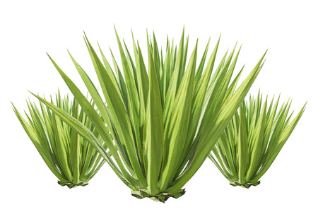century plant: Close up green agave plant isolated on white background Stock Photo