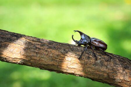 pelea: Close up escarabajo combates masculinos (escarabajo rinoceronte) en el árbol