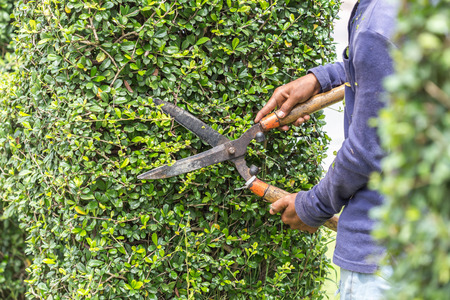 hedge clippers: Close up gardener cutting a hedge in the garden