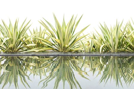 pone: Green agave decorative plant beside of water pond on white background