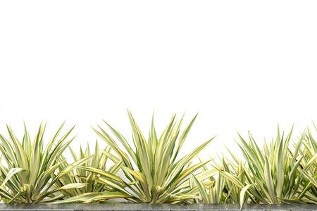 Green agave decorative plant isolated on white background Zdjęcie Seryjne