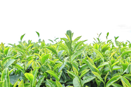 tea plantations: Close up tea plantation isolated on white background
