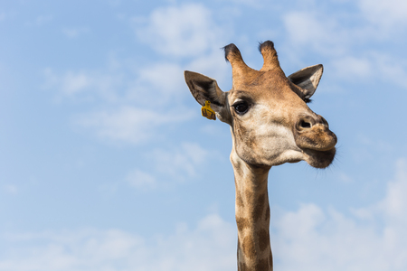 vertebrae view: Portrait of a curious giraffe on blue sky background, Focus on head Stock Photo