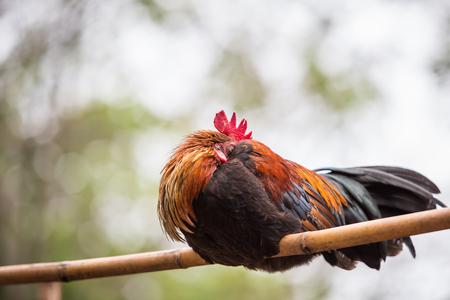 cock duck: Junglefowl, Beautiful chicken in the nature of Thailand Stock Photo