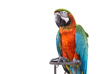 mccaw: Close up colorful  parrot macaw isolated on white background Stock Photo