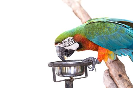 mccaw: Close up colorful parrot macaw isolated on white background