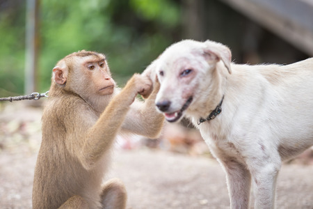 fleas: A monkey checking for fleas and ticks in the dog