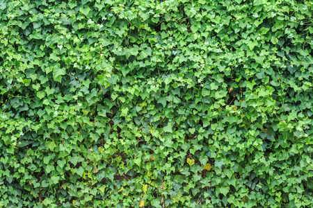 spring leaf: Abstract green wall of ivy gourd for background