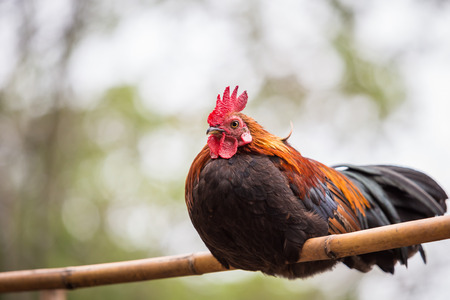 cock duck: Junglefowl, Beautiful chicken in the nature of Thailand Stock Photo