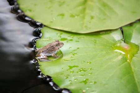 anuran: Close up a little frog on green lotus leaf